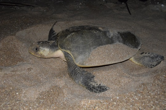 Turtle_in_sand_2