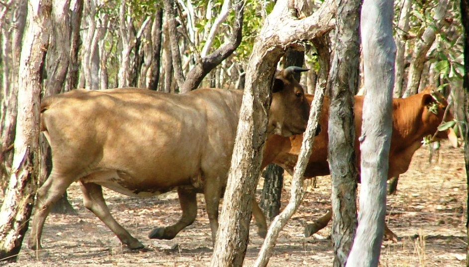 pic4_-_Feral_cattle